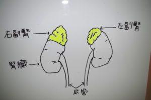 更年期障害は腎臓がkey pointです。