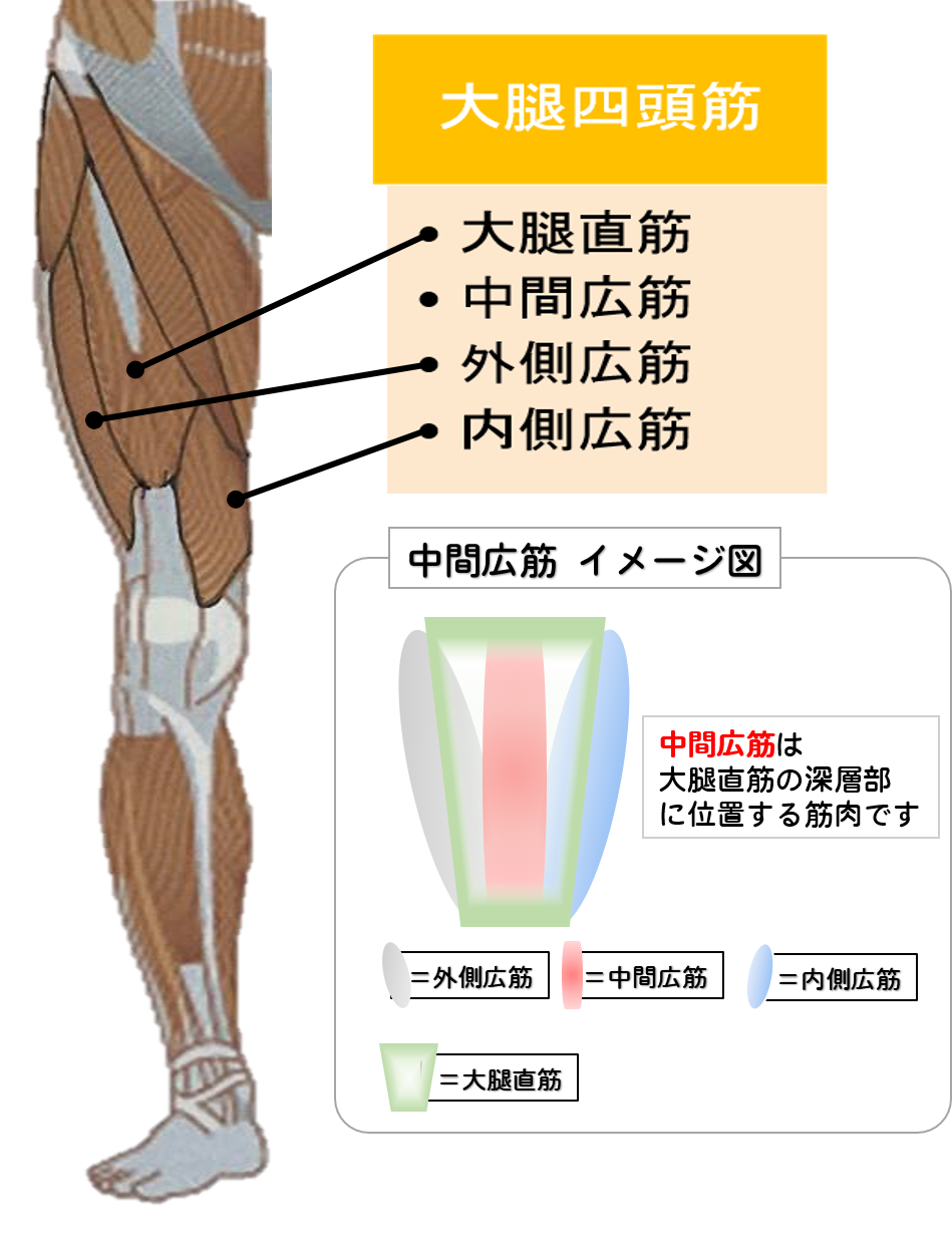 大腿四頭筋=下肢の筋肉のうち、大腿骨に繋がる筋肉である大腿筋のうち、大腿骨を挟み四方に存在する筋肉の総称